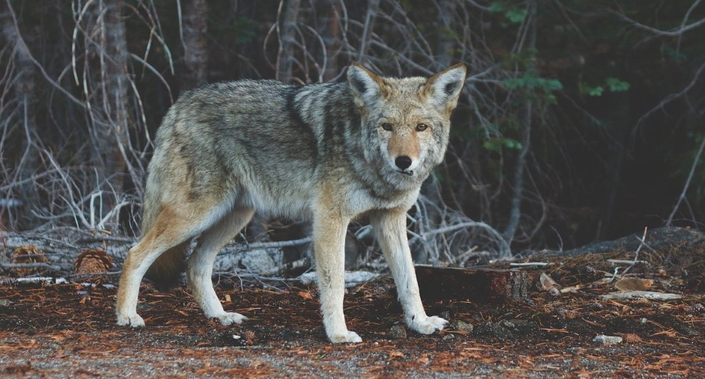 Difference Between Coyote vs Wolf