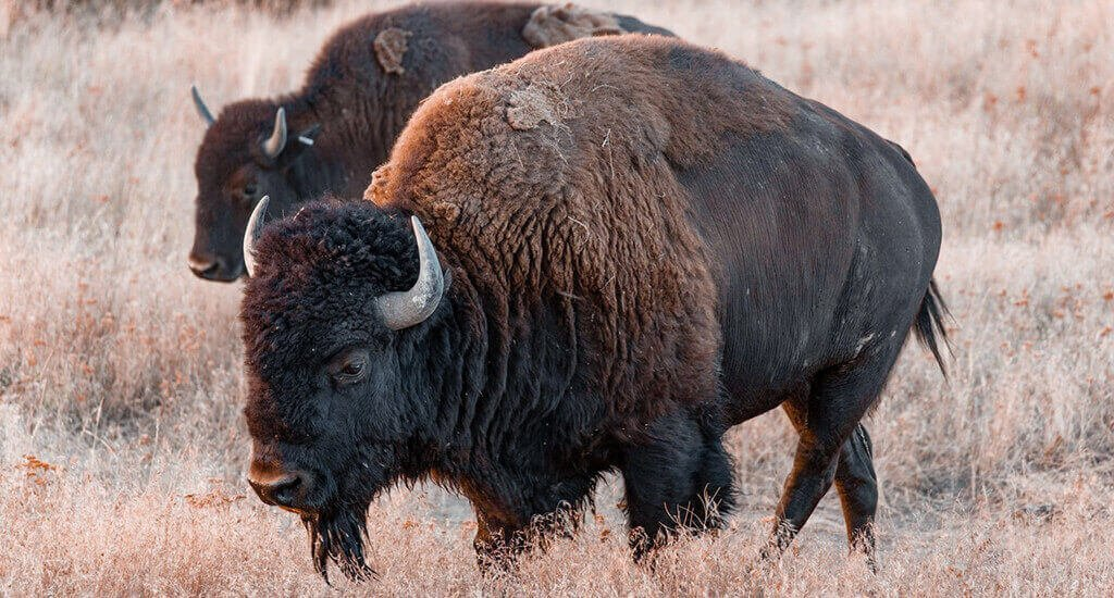 difference between bison vs buffalo